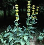 Garden Flowers False Hellebore, Veratrum photo yellow