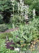 Garden Flowers False Hellebore, Veratrum photo white