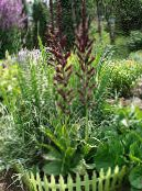 Garden Flowers False Hellebore, Veratrum photo burgundy