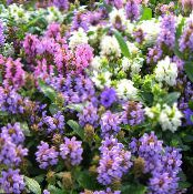 Garden Flowers Self-Heal, Selfheal, Heal All, Prunella photo white