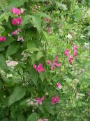 Garden Flowers Lathyrus tuberosus photo pink