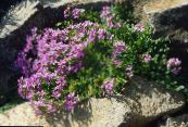 Garden Flowers Fairy Foxglove, Erinus alpinus photo lilac