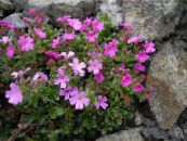Garden Flowers Fairy Foxglove, Erinus alpinus photo pink