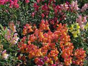 Snapdragon, Museau De Belette orange
