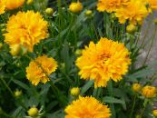 Garden Flowers Tickseed, Coreopsis photo yellow