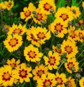 les fleurs du jardin Tickseed, Coreopsis photo orange