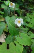 Snow Poppy, Chinese Bloodroot