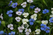 Day Flower, Spiderwort, Widows Tears, Commelina photo white
