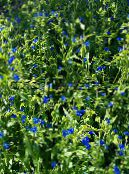 Day Flower, Spiderwort, Widows Tears, Commelina photo blue