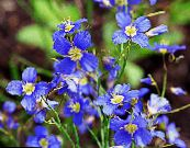 False Blue Flax