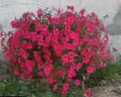 Garden Flowers Petunia Fortunia, Petunia x hybrida Fortunia photo red