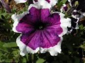 Garden Flowers Petunia Fortunia, Petunia x hybrida Fortunia photo purple