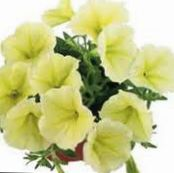 Garden Flowers Petunia Fortunia, Petunia x hybrida Fortunia photo yellow