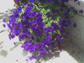 Garden Flowers Petunia Fortunia, Petunia x hybrida Fortunia photo blue