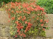 Garden Flowers New Zealand Burr, Acaena photo red