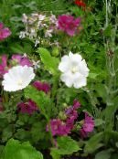 Garden Flowers Snowcup, Spurred Anoda, Wild Cotton, Anoda cristata photo white