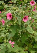 Garden Flowers Snowcup, Spurred Anoda, Wild Cotton, Anoda cristata photo pink
