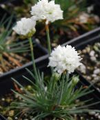 Garden Flowers Sea pink, Sea thrift, Armeria photo white