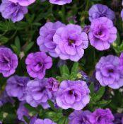 les fleurs du jardin Calibrachoa, Million Bells photo lilas