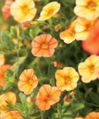 les fleurs du jardin Calibrachoa, Million Bells photo orange