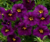 les fleurs du jardin Calibrachoa, Million Bells photo pourpre