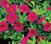 les fleurs du jardin Calibrachoa, Million Bells photo rose