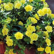 les fleurs du jardin Calibrachoa, Million Bells photo jaune
