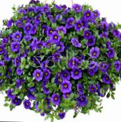 les fleurs du jardin Calibrachoa, Million Bells photo bleu