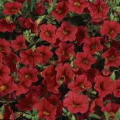les fleurs du jardin Calibrachoa, Million Bells photo rouge