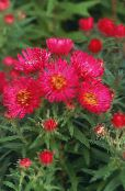 New England aster red