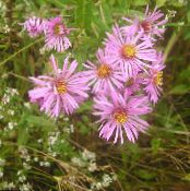 La Nouvelle-Angleterre Aster