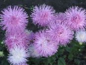Garden Flowers China Aster, Callistephus chinensis photo lilac