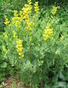 Garden Flowers False indigo, Baptisia photo yellow