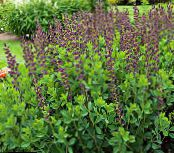 Garden Flowers False indigo, Baptisia photo burgundy