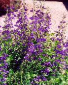 Garden Flowers False indigo, Baptisia photo purple
