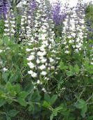 Garden Flowers False indigo, Baptisia photo white