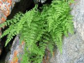 Brittle Bladder Fern, Fragile Fern, Brittle Fern light green