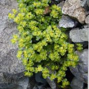 Golden saxifrage light green Leafy Ornamentals