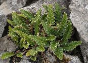 Rustyback Fern, Rusty-back Fern, Scaly Spleenwort