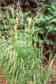 Garden Plants Spartina, Prairie Cord Grass cereals photo light green