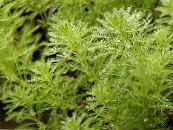 Parrot Feather, Parrotfeather Water Milfoil aquatic plants, Myriophyllum photo green
