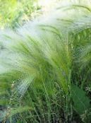 Garden Plants Foxtail barley, Squirrel-Tail cereals, Hordeum jubatum photo silvery