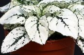 Polka dot plant, Freckle Face white Leafy Ornamentals
