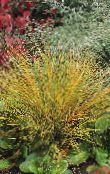 Garden Plants Pheasant's Tail Grass, Feather Grass, New Zealand wind grass cereals, Anemanthele lessoniana, Stipa arundinacea photo red