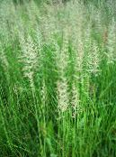 Garden Plants Feather reed grass, Striped feather reed cereals, Calamagrostis photo green