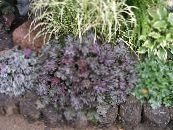 Heuchera, Coral flower, Coral Bells, Alumroot purple Leafy Ornamentals