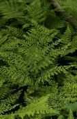 Garden Plants Diplazium sibiricum ferns photo green