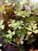 European Water Fern, Water Clover
