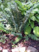 Hard shield fern, Soft shield fern