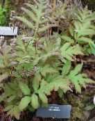 Sensitive Fern, Bead Fern